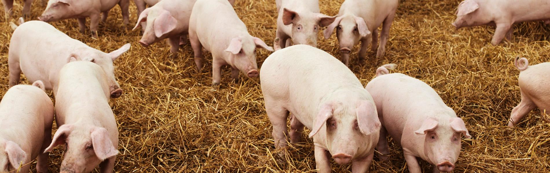 cerdos-magris